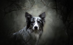 Picture look, face, branches, portrait, dog, bokeh, The border collie