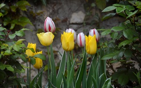 Picture Spring, Tulips, Spring, Tulips