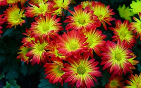Picture flowers, chrysanthemum, bokeh, red - yellow, krypnym plan