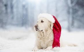 Picture winter, snow, dog, cap, bokeh, Golden Retriever, Golden Retriever