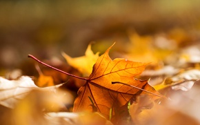 Wallpaper foliage, autumn, sheet, macro