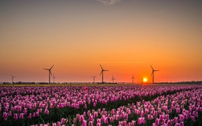 Picture field, the sky, the sun, light, landscape, sunset, flowers, spring, the evening, tulips, windmills, pink, …