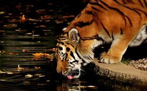 Picture leaves, water, tiger, animal, predator, drink