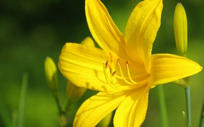 Picture Macro, Macro, Yellow lily, Yellow Lily