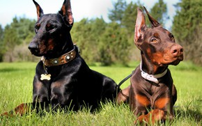 Picture grass, brothers, Dobermans, black and tan, acute, brown and tan
