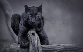Picture nature, cat, panther, wild, black panther