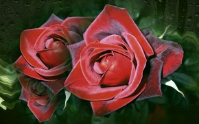 Picture Wallpaper, roses, beauty, author's photo by Elena Anikina