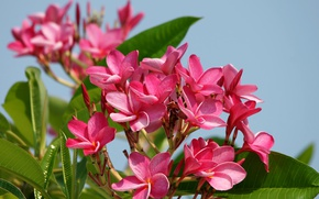 Picture pink, plumeria, flowers
