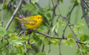 Picture branches, bird, Yellow drevenica, Golden forest songster