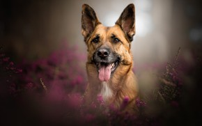 Picture language, look, face, portrait, dog, bokeh, Heather, German shepherd