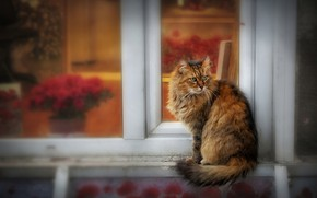 Wallpaper cat, fluffy, house, face, motley, walk, reddish, grey with red, window, the observer, pose, cat, ...