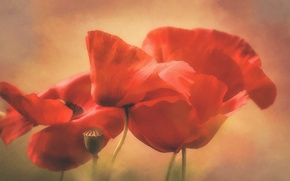 Picture background, Maki, petals, art