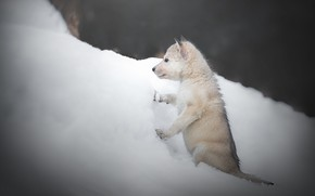 Picture winter, snow, dog, puppy, the snow, doggie, The Czechoslovakian Wolfdog, Volkosob