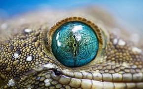 Picture lizard, Gecko, view, Jeshua, dense