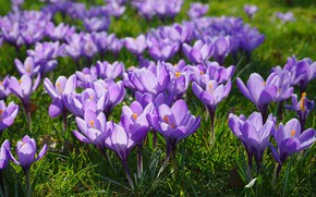 Picture grass, the sun, crocuses