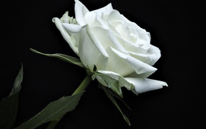 Picture rose, petals, white