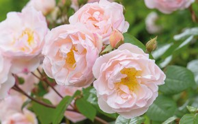 Picture pink, tenderness, Bush, roses