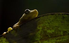 Picture nature, Demerara Falls tree frog, Hypsiboas cinerascens