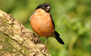 Picture bird, beak, tail, bullfinch