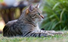 Picture cat, cat, nature, Kote