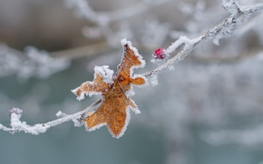 Picture cold, winter, macro, snow, sheet, ice, branch, berry, frost, freezing