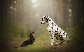 Picture bokeh, Dalmatian, two dogs, forest, Dachshund, peepers