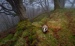 Picture autumn, nature, fog, Germany, badger, The black forest