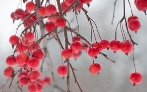 Picture nature, berries, branch