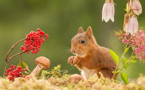 Picture animals, flowers, nature, berries, mushrooms, protein, rodent