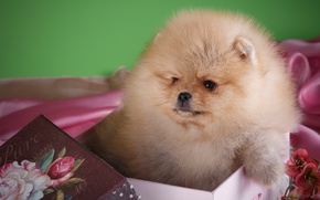 Picture box, fluffy, cute, Spitz