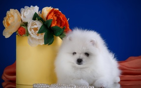 Picture white, flowers, breed, Spitz