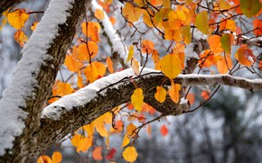 Picture autumn, leaves, snow, tree