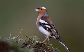 Picture birds, male, Chaffinch