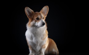 Picture Dog, Background, Animal