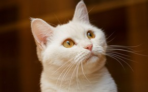 Picture white, eyes, cat