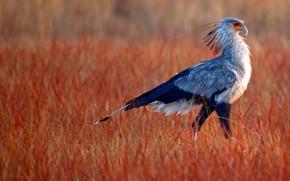 Picture grass, beak, tail, Africa, South Africa, Rietvlei Nature Reserve, Secretary bird
