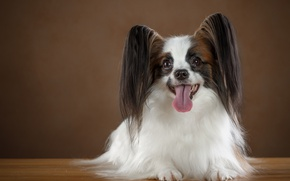 Picture language, ears, breed, Papillon