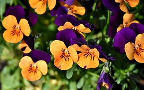 Picture flowers, flowerbed, Pansy