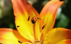 Picture flower, orange, insects, ladybug, Lily