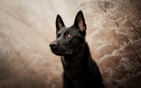 Picture frost, face, branches, dog, bokeh, German shepherd