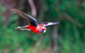 Picture bird, parrot, flight