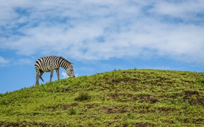 Picture nature, meadow, Zebra, weed, Animal, Whale