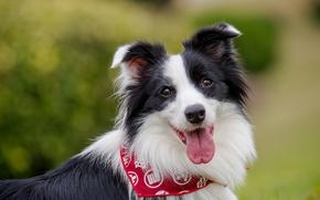 Wallpaper language, look, face, dog, bokeh, The border collie