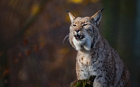 Picture background, lynx, wild cat, bokeh