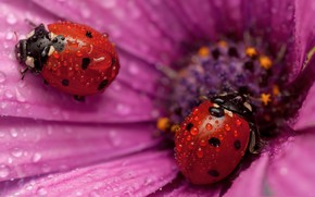 Picture drops, Rosa, ladybug, beetle, insect