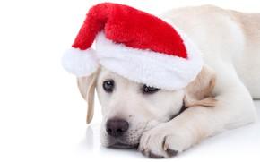 Wallpaper dog, Xmas, New Year, symbol 2018, Merry Christmas, cap, 2018, funny, Christmas, cute, santa hat, ...