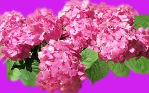 Picture flowers, Background, Reflection, Hortensje