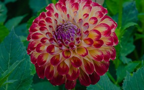 Picture flower, summer, Dahlia
