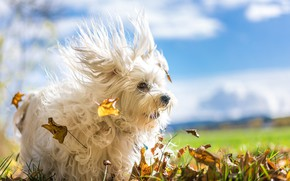 Picture autumn, leaves, the wind, dog, The Havanese, shaggy