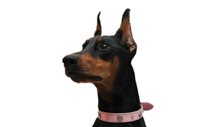 Picture Doberman, white background, pink collar, black and tan